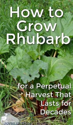 Rhubarb is an easy to grow perennial that deserves a spot in your temperate garden. Do you have a patch of this tart perennial vegetable on your homestead?