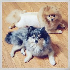Pomeranians    Like, repin, share! :)
