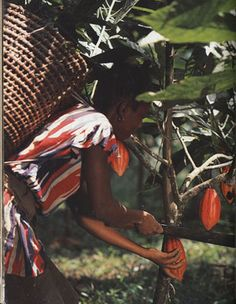 African farmer harvesting cacao pods ~ CHOCOLATE: Food of the Gods exhibit, Cornell University