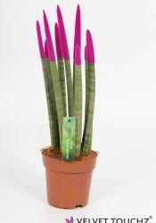 Sansevieria 12 cm Velvet Touchz® Roze_Witte Achtergrond
