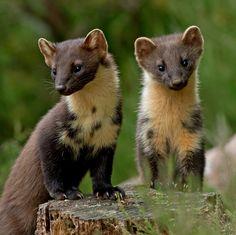 Pine Marten, female and kit Animals And Pets, Baby Animals, Cute Animals, Mon Zoo, Cute Ferrets, His Dark Materials, British Wildlife, Mundo Animal, Animal Sketches