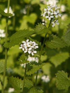 Løgkarse - en korsblomstret plante som smager og dufter af løg. Foto: Malene Bendix.