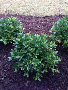 10 Best Small Evergreen Shrubs Gardening Small Garden 400 x 300