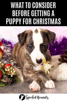 Thinking about getting a puppy to give for a Christmas present? What you should consider when deciding on a Christmas puppy plus the expectation versus reality of being a dog owner. #puppy #puppies #doghelp #doginformation #doglife #dogowner #christmasgifts #christmaspresents Training Your Puppy, Dog Training Tips, Dog Information, Christmas Puppy, Getting A Puppy, Dog Hacks, Cute Dogs And Puppies, Whippet, New Puppy