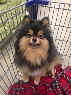 Delightful Comical And Sweet Pomeranian Ideas. Charming Comical And Sweet Pomeranian Ideas. Spitz Pomeranian, Cute Pomeranian, Pomeranians, Cute Puppies, Cute Dogs, Dogs And Puppies, Doggies, Beautiful Dogs, Animals Beautiful