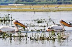 3 Days Private Tour - The Danube Delta for Bird Watching Lovers from Bucharest Danube Delta is best place to start discovering the natural treasures of Romania. UNESCO included the Danube Delta in its World Heritage list as the only natural spot in Romania. The Danube River flows east starting from Germany's Black Forest. Right before reaching the Black Sea, it turns into Europe's best preserved Delta. All the natural canals, lakes, rivers, reed beds, f...