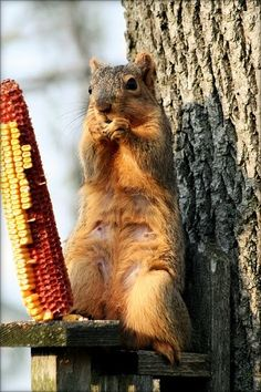 We have a squirrel ledge like this one. We put corn cobs out for the squirrels so we can watch them.