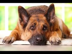 Dogs - Their Secret Lives (Documentary in HD) - HOME ALONE. Many dogs have separation anxiety and their owners don't know it because the dogs show no signs.