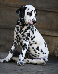 Thinking that one day I will have a Dalmatian.  They are adorable.