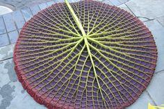 geometrie naturali - perfect-geometric-patterns-in-nature. Victoria amazónica (lirio o nenúfar de agua) Geometric Patterns, Geometric Shapes, Geometric Nature, Quilt Patterns, Patterns In Nature, Textures Patterns, Mandala Anti Stress, Giant Water Lily, Fractals In Nature