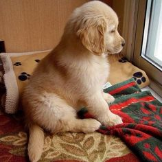 If anyone ever needs to cheer me up a Golden Retriever puppy will do quite nicely