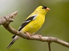 One of species of birds that visit my bird feeder in the spring