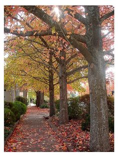 Maple Trees in Stirling ~Adelaide Hill