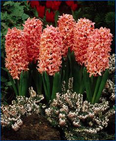 """Hyacinthus orientalis Gypsy Queen  Introduced in 1927, this dazzling beauty is salmon-apricot and is known as a good, mid-early forcer. Terrific with purple varieties to make both colors pop! Bulb size: 16/17 cm. April. 8"""" to 12"""". HZ: 4-8.    Catalog #4548   25/$11.2550/$21.45  100/$41.25"""