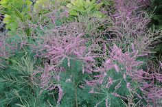 Click to view full-size photo of Summer Glow Tamarisk (Tamarix ramosissima 'Summer Glow') at Bachman's Landscaping