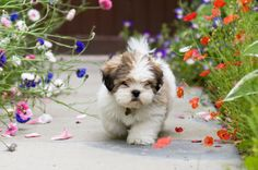 Lhasa Apso. Apparently the best dog for my lifestyle (umm, ADORABLE!) <3