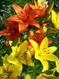 love these tiger lillies
