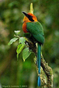 Rufous Motmot The Rufous Motmot is a near-passerine bird which is a resident breeder in rain forests from northeastern Honduras south to western Ecuador, N.E. Bolivia, and S.W. Brazil.