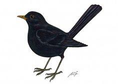 Les 11 Meilleures Images De Blackbird Birds Blackbird Et