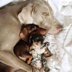 Adorable canine duo Harlow and Indiana recently welcomed a new little sister to the family - Reese, a miniature dachshund