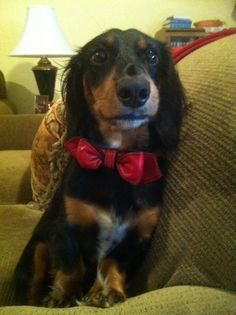 Dachshund Judd looks like a frat boy in his new red LuxeMutt Martini Bowtie Collar!
