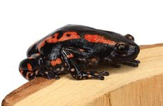 Red & Black Walking Frog  Phynomerus bifascia