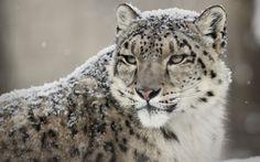 leopard-des-neiges-skieurs-4 Plus