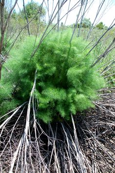 Wild Fennel | In Southern California it's edible and aromatic. http://www.pinterest.com/ironwork/i-like-weeds-in-my-yard/