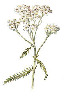 Stock Wildflower Images Botanical Flower Clip Art Botanical Flowers Yarrow Flower Plants