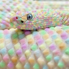 Albino snake looks like candy :/ ~~ Dont believe this one! Albino anything is solid white with red eyes. They are incapable of having any color pigment at all. This is a good example of photo shopping & is wrong to lead people to believe things that arent true! If you're going to show pics of animals, then be responsible about it & portray them as they really are. ~~