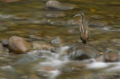 Concentration Including motion in an image does not always mean catching the subject moving. Here is one of my all-time favorite bird images that I have in my collection. While out shooting and working onThe Guide to Tropical Nature Photographywith my friend Glenn Bartley a couple of years ago, we came across this fasciated tiger heron fishing in a rushing river in late afternoon light. I framed loosely to take an image that showed silky water with an intensely focused bird. The exposure…