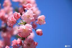 zoom sakura cerisier japonais printemps à tokyo Shinjuku Gyoen, Sakura, Zoom, Belle Photo, Tokyo, Japan, Plants, Beautiful, Cherry Blossom