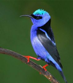 Awesome views: Red-legged Honeycreeper, Costa Rica