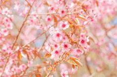 Fototapeta F5012 - Kwiat wiśni