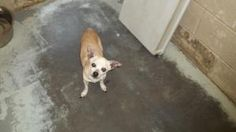Avery is an adoptable Chihuahua Dog in Johnson City, TN. Female dogs are 95.00. Male dogs are 80.00. This pays for their spay or neuter. If they are already spayed or neutered, they are only 35.00! Fo...