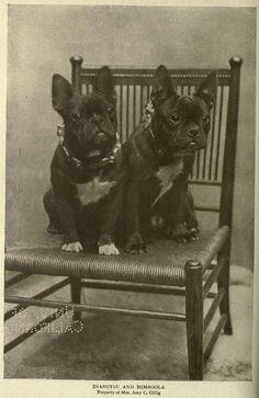French Bulldogs, 1905 'Diabutsu' and 'Dimboola'