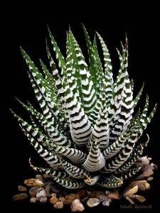 Haworthia attenuata (Zebra Haworthia)