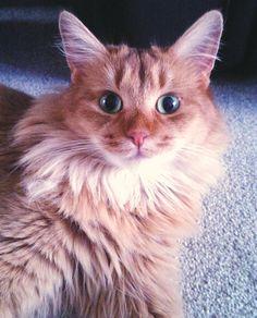 This is my Somali cat, Seysiana Callietorres  -  Tori for short