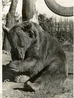 Wojtek the soldier bear /WWII/ In when the Polish troops returned home, they put Wojtek in the Edinburgh zoo. A statue of him was unveiled in Scotland in Baby Bear Cub, Bear Cubs, Black Bear, Brown Bear, Battle Of Monte Cassino, Bear Statue, Historical Maps, Lightning Strikes, Iran