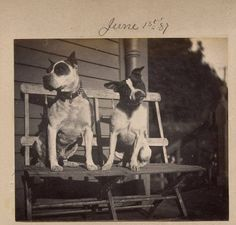 Animals Beautiful, Cute Animals, Animals Dog, Vintage Pictures, Old Pictures, Pitbull Terrier, Bull Terriers, Nanny Dog, Dogs And Puppies