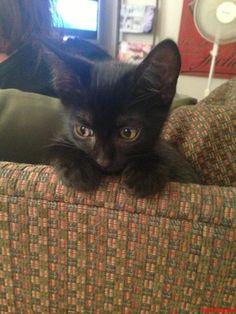 charlie kitten  those eyes - http://cutecatshq.com/cats/charlie-kitten-those-eyes/