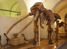 Witness This Parade of Prehistoric Pachyderms: Anancus