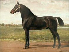 Groninger ; The Art of Horse Breeds The images below come from an album of art entitled Horse Breeds which was published in 1898, (there were 40 in total).  Otto possessed a detailed knowledge of horseflesh and the ability to transfer that to canvas. This paired with the author's knowledge on the subject made this one of the leading horse books of its day. It became quite valuable and highly sought after.