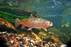 Photography: Yellowstone and its Cutthroat Trout | Hatch Magazine - Fly Fishing, etc.