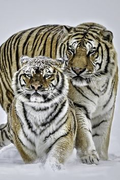 Siberian #Tigers by Paul Keates. #love #romance