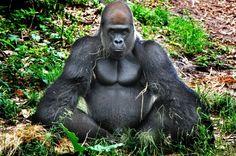 Картинки по запросу горилла злая