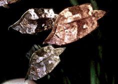 El pez hoja, Monocirrhus polyacanthus En la cuenca del Amazonas se puede encontrar a este curioso pez de la especie Monocirrhus polyacanthu...