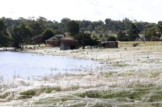 Scary as crap. That people is a spider invasion happening in Australia due to heavy flooding along riverbanks where these spiders call home. The flooding is so bad they are moving inland and are now becoming the newest neighbors.