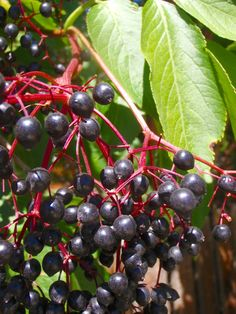 According to herbalist Paul Bergner, elderberry disables an enzyme present in the flu virus that prevents it from being able to enter a cell. In other words, it stops the flu from getting into your body, thus preventing the spread of the virus. In clinical trials, taking elderberry has removed all flu symptoms within 2 days in 90% of participants.AND IT GROWS FREE ALONG RAILROAD TRACKS AND COUNTRY ROADS. ALSO MAKES A GREAT WINE (from experience)