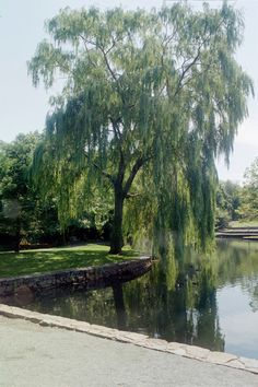 How to Paint a Weeping Willow Tree